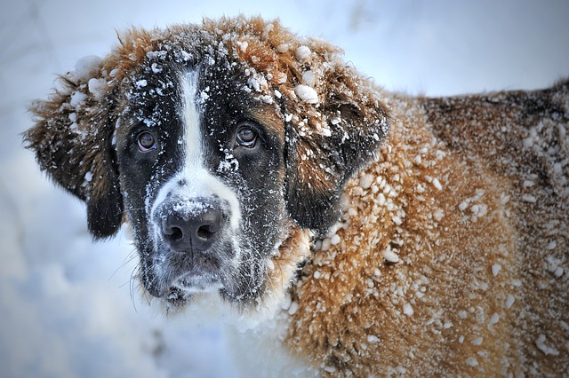 bernardýn ve sněhu